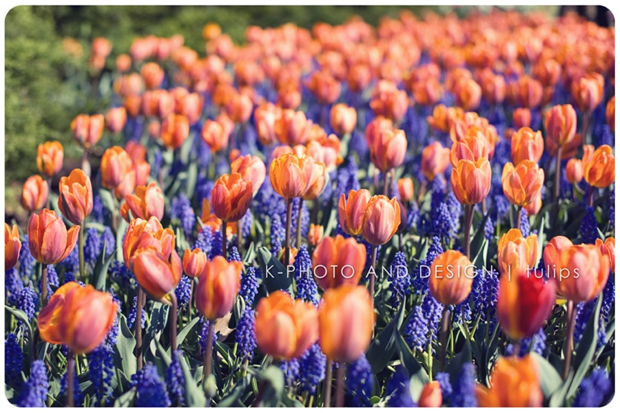 Tulip Festival