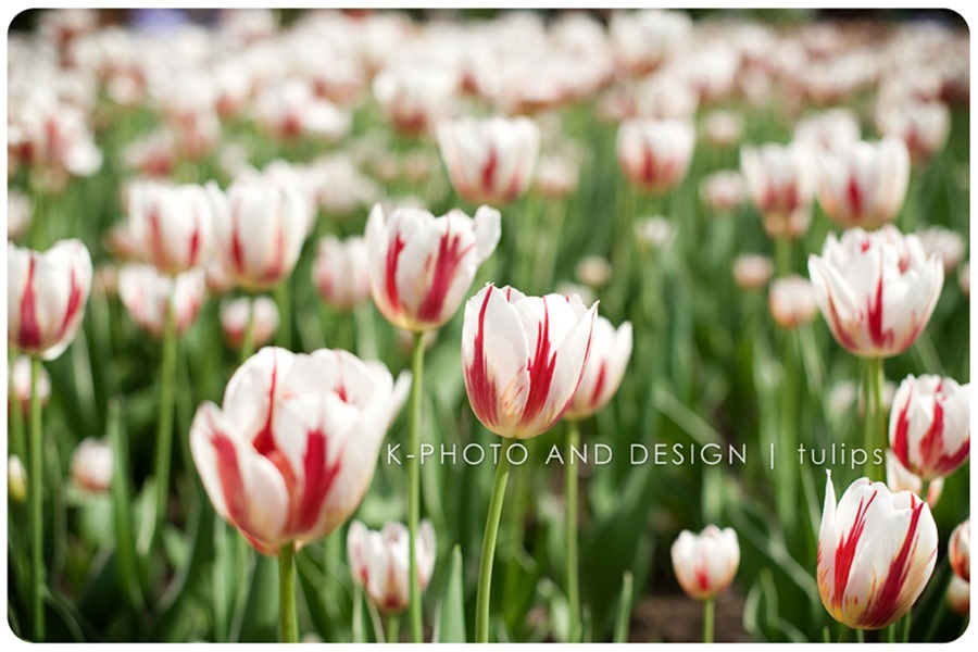 Canada tulip
